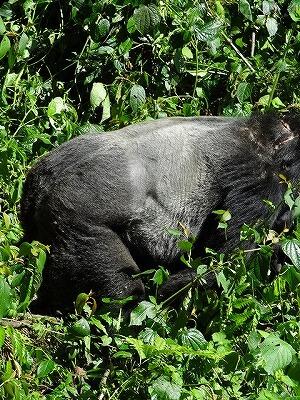 ウガンダ ゴリラトレッキング シルバーバック