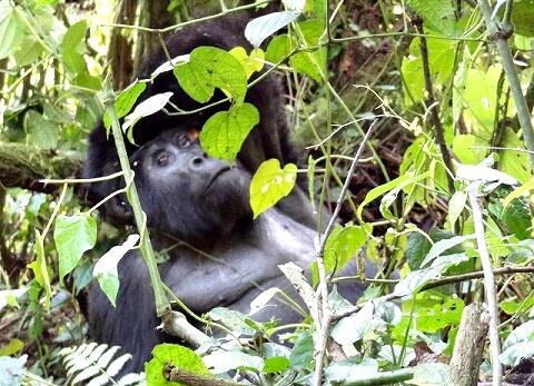 ウガンダ ゴリラトレッキング ゴリラ