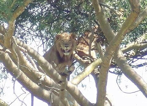 ウガンダ クイーンエリザベス国立公園 イシャシャ地区 木登りライオン