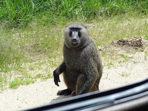 ウガンダ クイーンエリザベス国立公園 サファリ ヒヒ