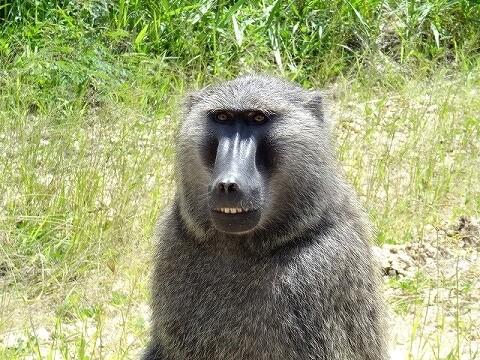 ウガンダ クイーンエリザベス国立公園 サファリ ヒヒ バブーン