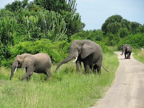 ウガンダ クイーンエリザベス国立公園 サファリ ゾウの群れ
