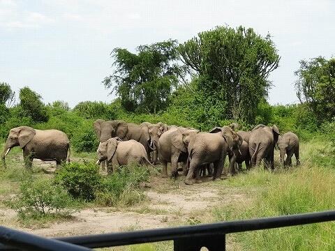 ウガンダ クイーンエリザベス国立公園 サファリ ゾウ
