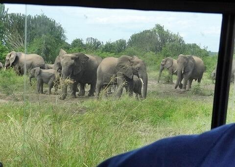 ウガンダ クイーンエリザベス国立公園 サファリ 象