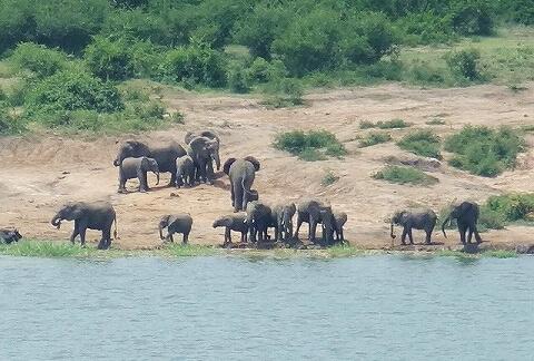ウガンダ ムウェヤサファリロッジ ムウィヤ ゾウ Mweya Safari Lodge