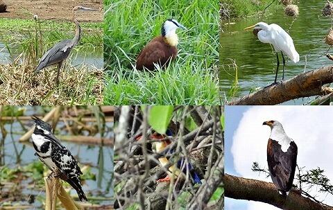 ウガンダ クイーンエリザベス国立公園 ボートサファリ 鳥