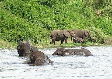 ウガンダ クイーネリザベス国立公園 ボートサファリ ゾウ