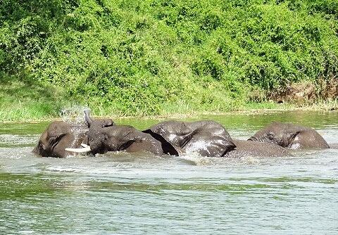 ウガンダ クイーンエリザベス国立公園 ボートサファリ ゾウ 水浴び