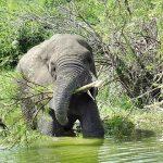 ウガンダ クイーンエリザベス国立公園 ボートーサファリ ゾウ