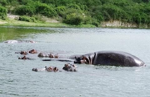 ウガンダ クイーンエリザベス国立公園 ボートサファリ カバ