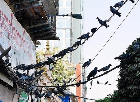 ミャンマー ヤンゴン 鳥 鳩