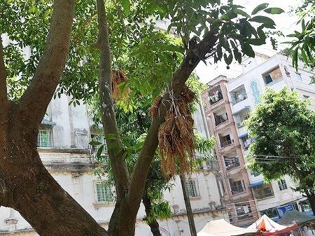 ミャンマー ヤンゴン 鳥 ハト 鳩 エサ