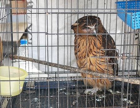 ブルネイ キアンゲマーケット Kianggeh Market 市場 観光 旅行記 ブログ 動物 ペット 鳥