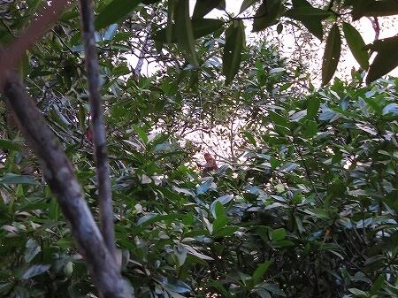 ブルネイ テングザル マングローブクルーズ リバークルーズ リバーサファリ proboscis monkey