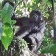 ウガンダの森で、ゴリラに出会った~
